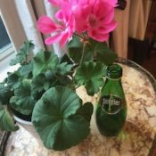 The Little Geranium……..         That Could